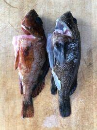 沼津港で釣りをしてきました。 これはカサゴですかね?