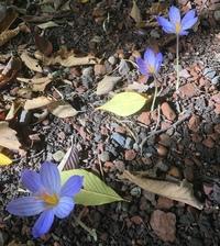 花の名前が知りたいです。  画像の花の名前を知っている方がいらっしゃれば教えていただきたく存じます。 だいたい10㎝ほどの高さに、葉がなく一本で咲いていることもあれば群生していることもありました。 なかなか名前がわからずモヤモヤしています。 多分野花だとは思うのですが、よく知りません。 ちなみに咲いていた時期と場所は10月頃の北海道大学植物園です。  よろしくお願いいたします。