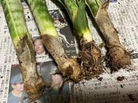 サンスベリアについて質問です。   先日、小さな園芸店を見ていたら手頃な大きさのサンスベリアが安く売っていたので購入しました。 そして今日植え替えをしたら根の全く無いネギようなサンスベリアが4本出て...