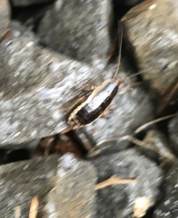 庭の砂利の下にゴキブリ?みたいな虫が大量に湧いてます。 特に室外機辺りです。 虫の名前と駆除方法を教えて下さい