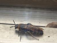 このハチっぽい虫は、何でしょうか? 今年の夏、庭に毎日のように数匹出没していました。 刺されないかと家族が心配していたので、ご存じの方がいらっしゃったら教えて頂ければ幸いです。