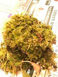 庭の苔その2 写真の苔ですが、詳しい方、名前を教えていただけないでしょうか? 実家の庭にあったものです。