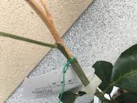 甘夏の苗木を先月購入しまして、2月頃まで仮植えとして穴あきバケツに肥料、堆肥なしで植えました。 甘夏の苗木の先端から白く枯れてしまいました。 原因が分からなく困ってます。 病気なの か?栽培法に問題...