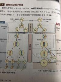 【生物】動物の配偶子形成についてです。 写真では、一次精母細胞が成長した後の赤と青の染色体の組み合わせと一次卵母細胞が肥大成長した後の赤と青の染色体の組み合わせとが異なっているのですが、その理由はなんですか?
