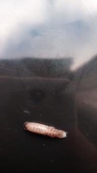 ちりめんモンスターについてです。 この甲殻類のようなやつはなんですか? 水揚げ場は兵庫県です。