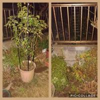 つるバラのスーパーエクセルサの誘引について質問させていただきます。 写真左の鉢植えは今年の年始頃に鉢増ししてオベリスク仕立てにしたスーパーエクセルサです(夜間の撮影で見えずらくてすみません)  鉢は(多分)12号くらいかと思います。 今月中には葉を落として休眠させるつもりなんですが、その際にオベリスクから地植えにしてフェンスに誘引しようかと思い金網を取り付け用意しました(写真右)  ですが地...