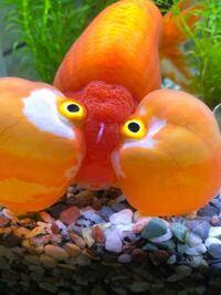 水泡眼についての質問です。 今朝、金魚の様子を見に行ったところ、金魚の頭部に白い糸の様な物がついていました。  これは、何かの病気でしょうか。? 又、対策方法や、治療方法等はございますでしょうか。?