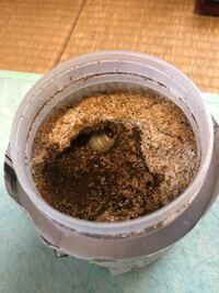 オオクワガタの幼虫の蛹室を壊してしまいました。 昨日菌糸ビンを交換しようと掘り出していたら、黄色く若干シワが見られる幼虫が出てきました。盛大に蛹室を壊してしまいました。そのままにして今朝見たら、少し掘って奥に行ってしまいました。  ジッとしてるので急いで人工蛹室に移動させるべきでしょうか?口と脚が固まって動かせなくならないと人工蛹室に移しても潜ってしまうと聞いたのですが、、、 何か最善策ない...