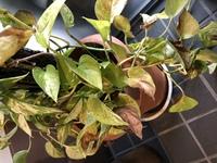 ポトスの葉焼け 玄関先(外)に置いていて徐々に葉っぱが茶色くなってきました。 対象方法は茶色い葉っぱの部分を全てカットしたらいいのでしょうか? それとも茶色い部分の茎からカットしたら いいのでしょうか...