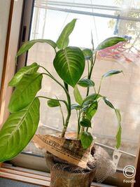 この植物の名前 教えてください。 5年以上前に買った観葉植物ですが,ずっと日の当たらない玄関に置き放置状態でした。鉢を変える事もなく栄養も1回もあげてません。水は時々…。 それでも,けなげに新しい葉っぱを...