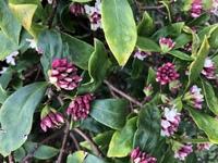 これって何の花ですか?キンモクセイではないですかね?