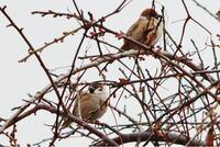 この鳥の名前を教えて下さい。 すずめのようにも見えたのですが すずめより大きい気もしました。
