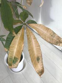 パキラの葉が茶色く変色して落ちていきます。 昨年の12月頃から葉っぱが茶色く変色して落ちていきます。原因は何が考えられるでしょう? パキラを買って4年目になりますが初めてこの様な状態になりました。パキラの置き場所は南向きの日当たりの良い窓際でここ2年は置き場所は変わっていません。置いてある場所の室温は約10度から15度です。暖冬なので去年より室温は高めです。湿度は30から40%。水やりは週1...