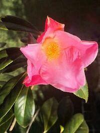 この花が咲く、ツバキの品種名が知りたいです。 教えてくださいませんでしょうか。