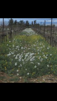 この白い花の名前はなんと言うのでしょうか  先日ヨーロッパの葡萄畑で見ました この白い花ご存知の方いたら教えてください