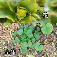 写真のチドメグサの葉に似た葉を持つ植物の名前を教えて下さい。花がチドメグサのものと少し違うと思うのですがどうでしょう?