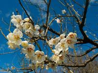 この植物(ウメ)の品種名を教えて下さい。 撮影日は2月中旬,岐阜県内です。  よろしくお願いいたします。