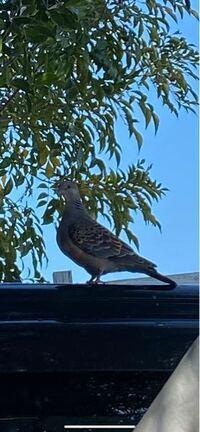 鳥に詳しい方に質問です。 庭のオリーブの木に鳥の巣を作っていて、ヒナがいました。 すぐ近くにこの鳥がいました。 親だと思うのですが、この種類はなんですか?