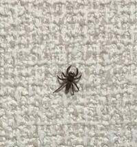 家の中に現れたクモ この蜘蛛はいい蜘蛛ですか? 害はなく殺さない方がいいと聞くのですが、赤ちゃんもいるので不快です。