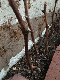 葡萄の挿し木について教えてください。土がなかったので、とりあえず、古い土を使いましたが、新しい土が届きました。古い土をのけてら新しい土を入れても大丈夫ですか? また、木のポチッと出ているものは、新しい芽?ですか?