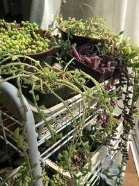 多肉植物のネックレス系が上手く育てられません。 グリーンネックレスは、玉が小さく、他は根元がスカスカに。 室内だから、でしょうか。  サイズダウンさせようと思うのですが、 鉢は小さいものでも大丈夫ですか?