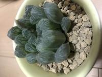 多肉植物ハオルチアの品種を教えて下さい。