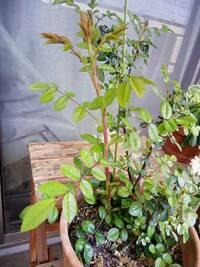 ミニバラのベイサルシュート  丈が少し大きくなるタイプのミニバラを12年育てています。 今まで適当に育ててしまってましたが、去年から肥料や植え替えなど少し手間をかけて育てるようになり ました。  冬に...