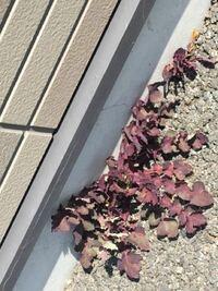 紫の葉のたんぽぽが生えています たんぽぽの葉は緑のイメージがあるのですがなぜこれは紫なのでしょうか?