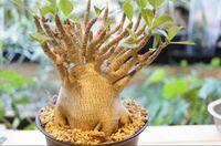 アデニウム アラビカムを購入しました、今後はグラニリスなどを購入しようと思いますが良い環境で育てた場合寿命はどれくらいのものですが?塊根植物好きな方教えてください!