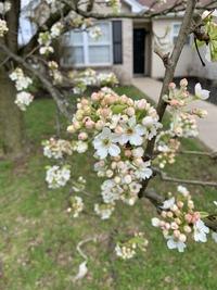 アメリカのオハイオ州にある木です。 何という名前の木がお分かりの方いませんでしょうか? 3月28日より開花し始めました。