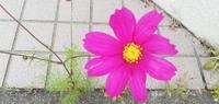 このコスモスみたいな花、名前教えて下さい、今咲いてます。