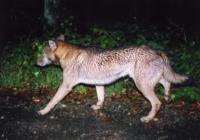 日本狼と四国犬の違いを教えてください。