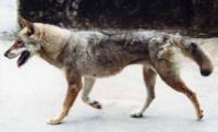 2000年に 九州祖母山系で撮られたこの動物はニホンオオカミだと思われる方はいませんか? 撮影者の本を読みましたが、素人ながらこれはニホンオオカミだと私は思います。 四国犬という意見もありますが、こんな野性的で尻尾の巻いていない四国犬はいないと思います。ハスキー雑種や狼犬とも違うと思います。  いやイヌだ、という方もご回答ください。いろんな見識を知りたいです。ちなみに、秩父野犬はさすがにイヌ...