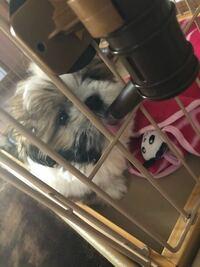 シーズーの子犬です。 この子は美人でしょうか?