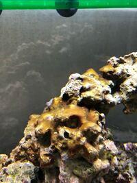海水水槽についてです。 実家で海水魚をかっているんですけど、1週間ぶりに水替えのためにかえってみたらライブロックに写真では茶色っぽいですが、実物は若干緑っぽい柔らかい苔?が生えていました。 これはなん...
