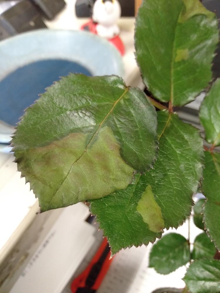 バラの葉っぱが葉先から枯れてきました。写真の葉っぱだけでなくて株全体にその症状が診られます 何の病気ですか?