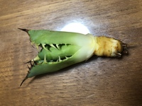 アガベ チタノタの発根に関して質問です。 育てていたチタノタの下の葉が黒く枯れてきたため、植え替えようと鉢から抜いてみたら根腐れしておりました。 腐っていた部分を取り除いたのですが 根っこが無くなってしまいました。 これからどのように対処すればよろしいでしょうか? 画像も添付させて頂きますのでご教示ください。 よろしくお願い致します。