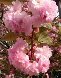 この写真の桜の種類を教えていただきたいです。今、関東地方で見頃を迎えている濃いピンク色の密集して咲いている桜はカンザンですか?