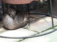 野鳥の雛?中雛?かな、と思いますが、今朝からウチの敷地内にいます。 『野鳥の雛を拾わないで』というルールは知っていますが、もしかしたら役所等に届けた方がいい鳥かな? 今後の対処法を ご存知の方がいら...