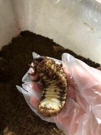 ヘラクレスの蛹室を壊してしまいました。 まだ土に潜りますが放置で大丈夫でしょうか。回答お願いします。