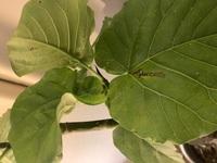 観葉植物の葉っぱに黒ずんだ場所ができてきたり、虫食いのような状態になったりしてきています。 これはどのように対処したらいいでしょうか。 初めての観葉植物なので不安です。 よく見ると 白い粉のようなものもついたりしています。
