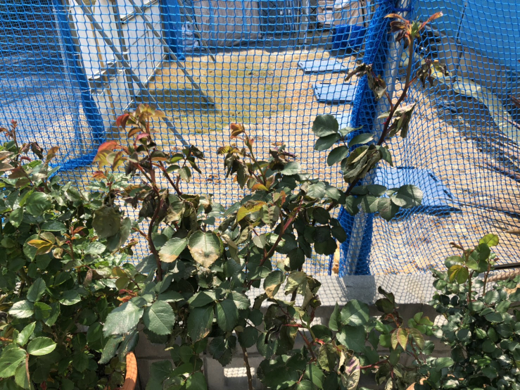 バラの葉っぱが一部縮れてたように萎れています。水は定期的に与えており、水切れではないと思うのですが、他の原因としては何が考えられるでしょうか?