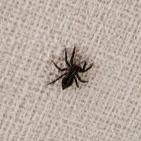 蜘蛛について質問です。 この画像の蜘蛛は何という蜘蛛ですか?体長は1センチぐらいです。  家によく見かけるのですが放置してます。小さくてかわいいし。蜘蛛の巣も作らないし。多分悪い虫 とか食べてくれる...