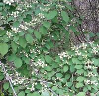 写真の花木の花の名前を教えて下さい、 山の木陰で花を着けています。