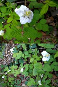 これは何の花ですか? 私の家は結構山中の方にあるので、花や葉っぱの形を見て野いちごの仲間かなっ?てゆうのは分かるのですが、具体的に何の種類の野いちごかは分からなかったので教えてください!  家の近くに在ってよく見る野いちごの花は3〜4cm程なのですが、この花は一回りか二回りほど大きくて花の大きさは5〜6cm程です。 見つけた場所は日当たりはあまり良くない雑木林の入口付近で、斜面になった所です。