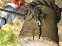 公園にいたヤモリの尾に何かの幼虫が噛み付いていたのですが寄生虫でしょうか?  かなりしっかりと噛み付いていました。  詳細のわかる方教えて頂けないでしょうか。