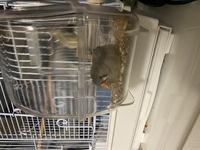 キンカチョウが餌箱にずーっといます。  小鳥に詳しい方教えて頂きたいと思います。  3日前からキンカチョウ(生後2ヶ月程)を飼いはじめました。餌箱を、ペットショップで飼育されていた 時と同じものに揃...