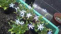 花の名前が思い出せません。一目惚れで買ったのですが、なんという花か教えて下さい。花びらは薄く紫色で、葉はギザギザです。