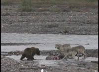 ニホンオオカミはツキノワグマの子熊を食ったでしょうか? 逆にニホンオオカミが仕留めた獲物をツキノワグマが奪ったり・・・なんてこともあったでしょうか? イエローストーンではクマとオオカミは天敵同士で、上記 のことが日常茶飯事らしいです。
