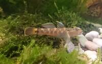 ヨシノボリ 種類  このヨシノボリはなんて種類ですか?  中国地方 川ですくった個体です  シマヨシノボリにみえるのですが 違いますかね?  写メ 餌食べ終わった後